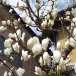 木蓮が咲きそうです。